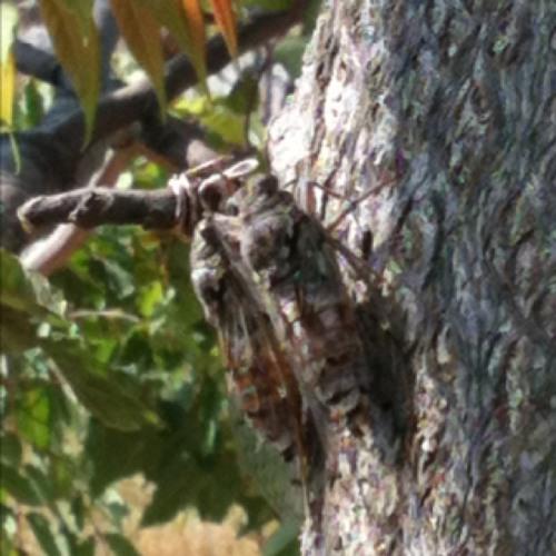 Cvrčci at Hill Perun