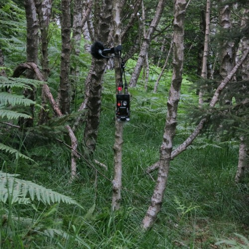 Birch-pine forest - Val Veddasca (Italy) - Capinera (Blackcap) - (AT BP4025)
