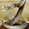 Rattle snake jake