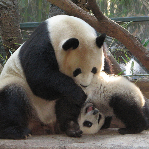 Panda-Smile and Dance