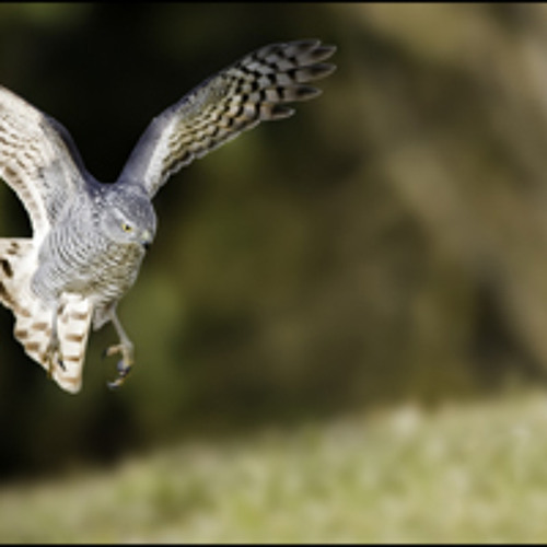 The flight of the sparrowhawk
