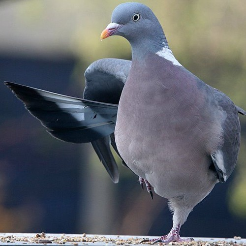 Track 7 - Final Vista: Wood Pigeons Fly For The High Tree
