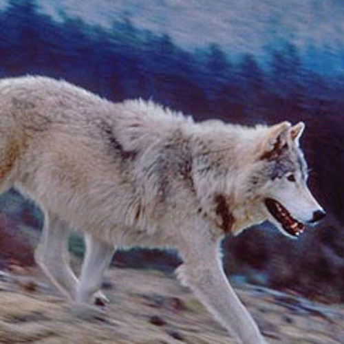 Earthfix Conversation: Find Out Why Washington Officials Killed An Endangered Wolf