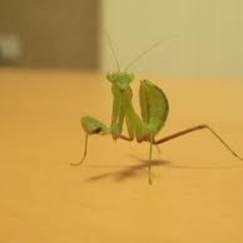 Preying Mantis VIP