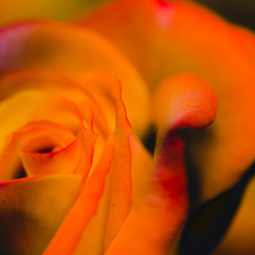 Sunrise of a Rose