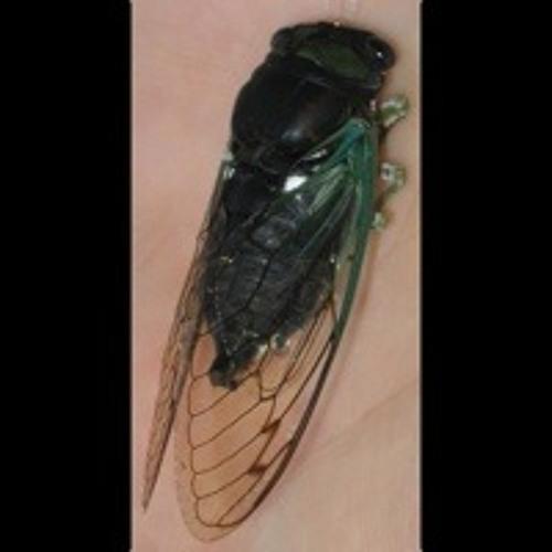 Tibicen tibicen (chloromera) cicada