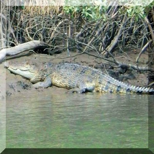 'Moon river lizard'   crocodile story, by Tony Lodge.
