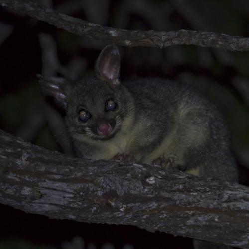 Ringtail possum - Pseudocheirus peregrinus (please use headphones)
