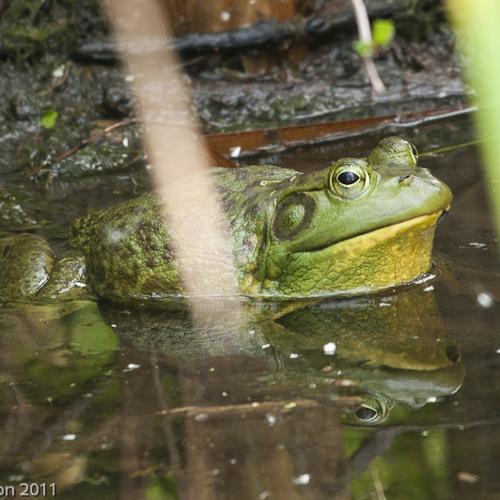 American Bullfrog (Lithobates catesbianus)