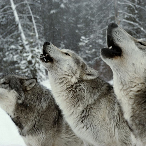 Wolf Pack Howl Sound for Lonely People