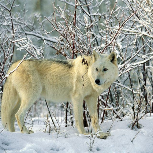 Timber Wolves 082812