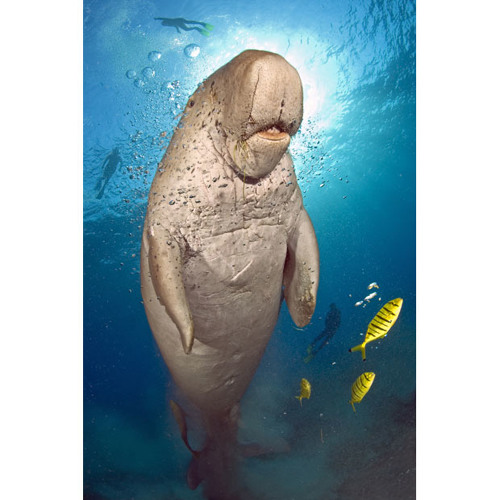 Dugong, near Antarctica, by means of hydrophone - A.R.C.
