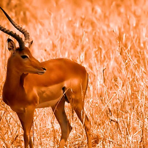 Native - Impala (FREE DL/READ DESC)