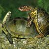 Yung Flii- Turtle Love Ft. Ryze & Reefa Ali