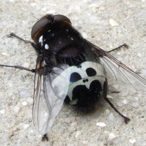 Capital Monkey - Looking Fly