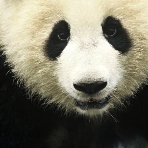 Giant Panda Cub Call For Endangered Animals Awareness