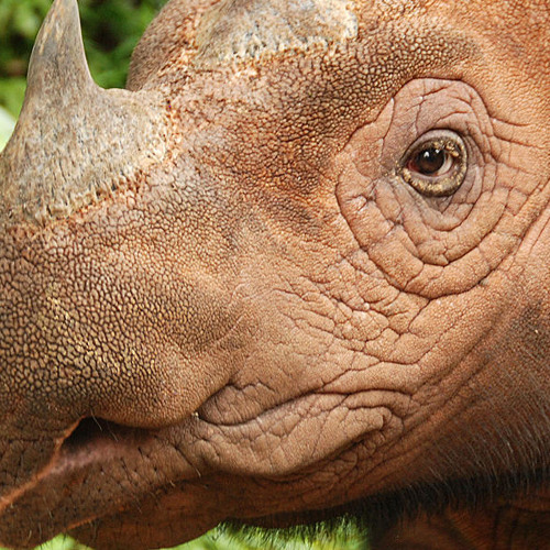 Rhino Charging Sound to Get Your Day Moving (Sound of the Day)