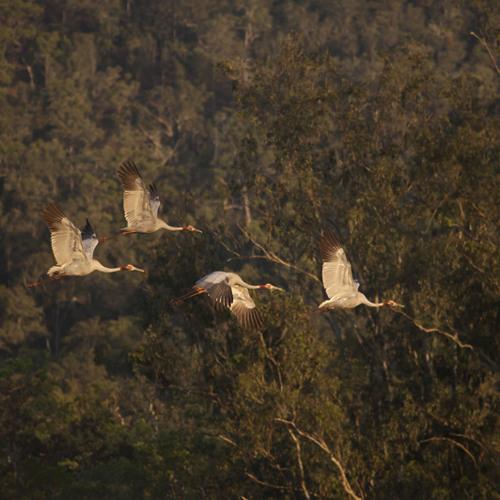 Brolga - Grus nubicunda and Sarus Crane - Grus antigone (Spring Equinox)
