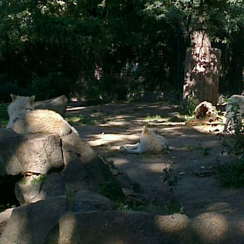 Wolves at Zoologischer Garten