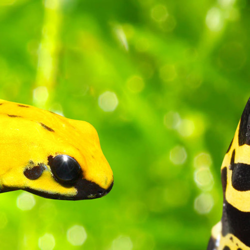 Poison Dart Frog Chirp for Your Morning Alarm (Sound of the Day)