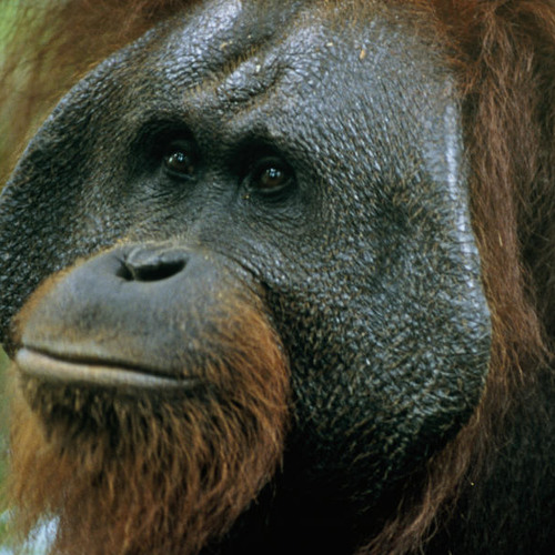 Bornean Orangutan Kiss Squeak for Hopeless Romantics (Sound of the Day)