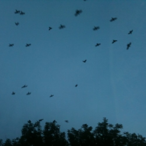 Rooks be a roostin'