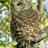 20121014T01-barred owl