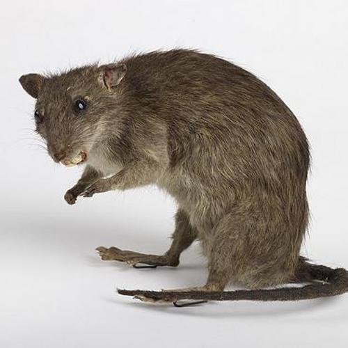 The Birmingham Rat