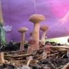 The Mushroom Song (Banjo)