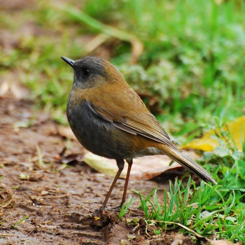 Nightingale (Yanni) cover