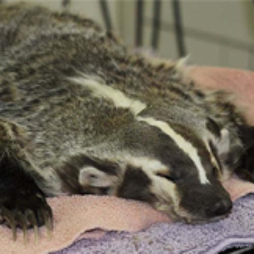 Flat Badger