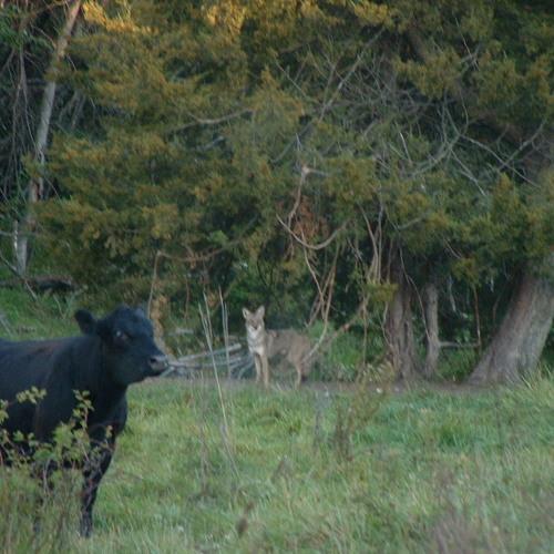 Coyotes 2012 October 8-20