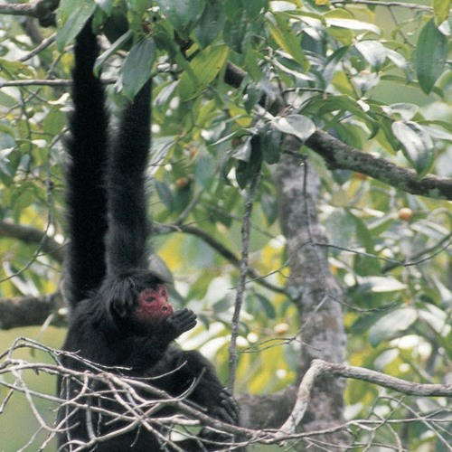 Black Spider Monkey Call for You Social Creatures (Sound of the Day)