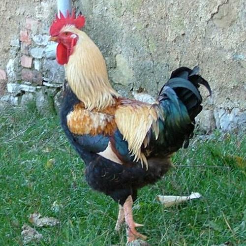 Shoot The Chicken Dancing! - Dj Ace XIV
