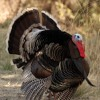 The American Tradition: Turkeys and PACs