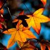 Autumn Leaves - Trumpet