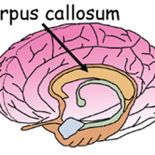 5 - Corpus Callosum