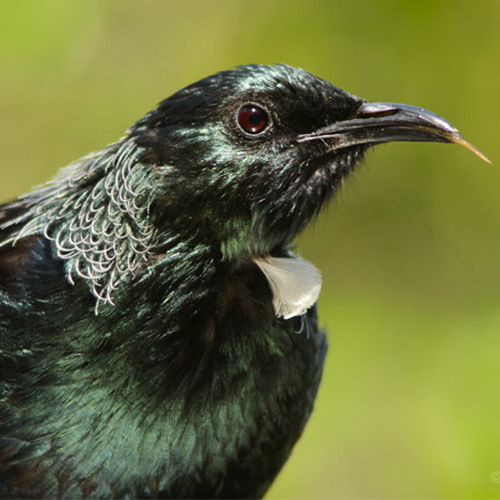 New Zealand native birdsong dawn chorus