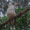 Kookaburra Sits In Antwerp Zoo
