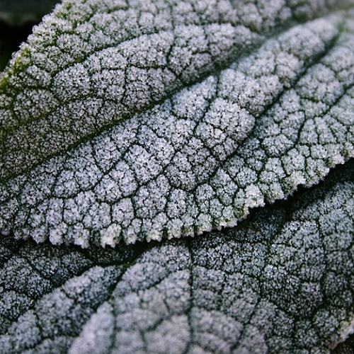 William French - Frosty Leaf