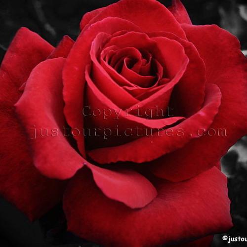 Red Roses - John II