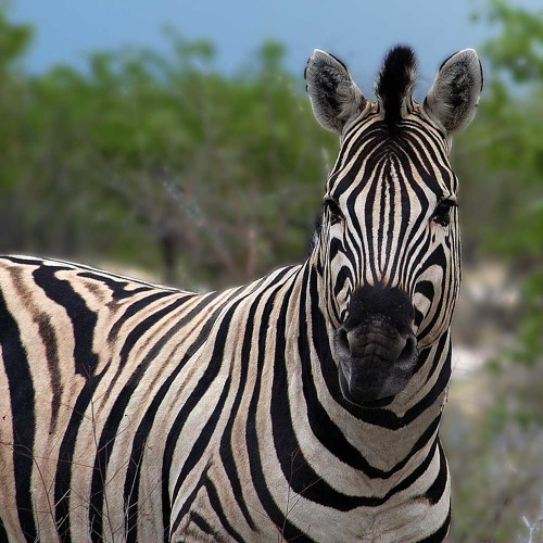 Crazy Zebra Mesa