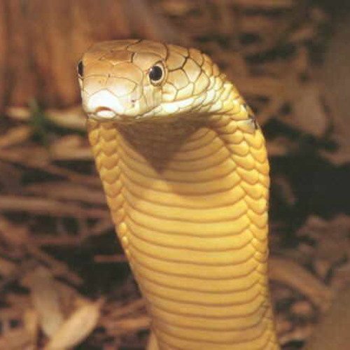 King Cobra [Forthcoming Phucked Records]