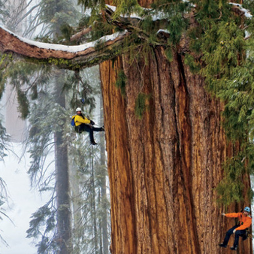 Climbing Earth's Second-Largest Tree | KQED's The California Report | December 6, 2012