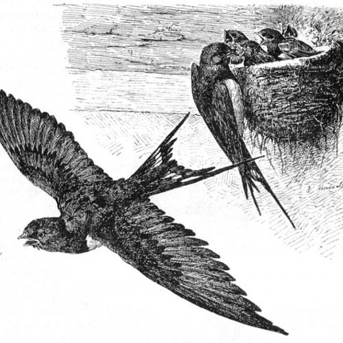Meister Nadelöhr - Junge zapplige jungbusch Schwalbe lernt das fliegen