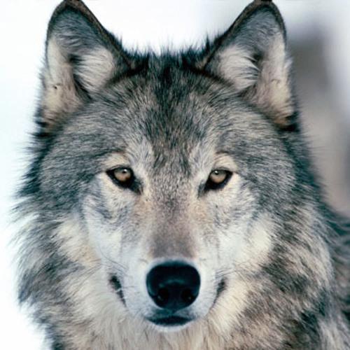 GR 8 - Wolf