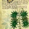 The Voynich Manuscript - Celestial