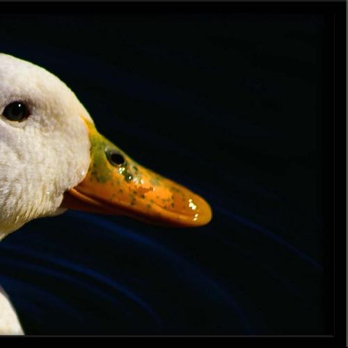 Peaking duck & 15 mins of lame
