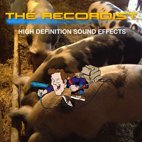 Pig Feeding And Head Bumping