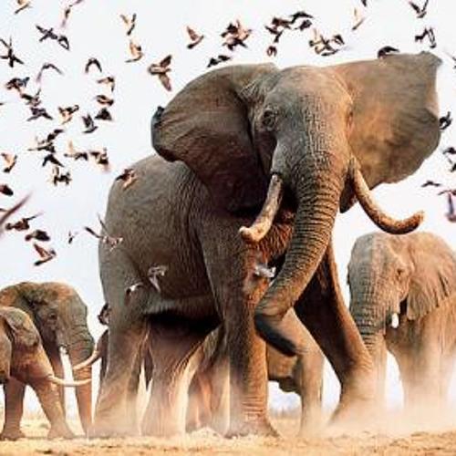 Elephants making grime music